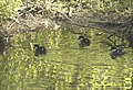 Goldeneye babies, Korso, may 2008 - panoramio.jpg