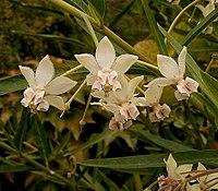Gomphocarpus fruticosus 02 ies