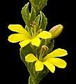 Goodenia viscida - Flickr - Kevin Thiele.jpg