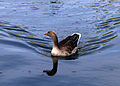 Goose in Hooks Marsh Lake at Fishers Green, Lee Valley, Waltham Abbey, Essex, England 01.jpg