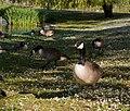 Goose in sunlight, geese in shade - crompton lodges - panoramio.jpg