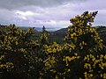 Gorse above Cwm Carrog - geograph.org.uk - 705598.jpg