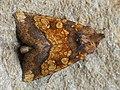 Gortyna flavago - Frosted orange moth - Сердцевинная совка обыкновенная (27256194918).jpg