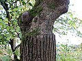 Graft of Camperdown Elm onto Wych Elm trunk.JPG