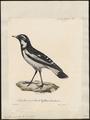 Grallina picata - 1825-1834 - Print - Iconographia Zoologica - Special Collections University of Amsterdam - UBA01 IZ16300127.tif