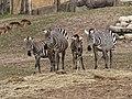 Grant Zebra (40675696214).jpg