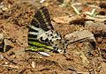 Graphium antiphates - Five-bar Swordtail 11.jpg