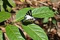 Graphium antiphates naira Moore, 1903 – Sahyadri Five-bar Swordtail at Kannavam RF (57).jpg