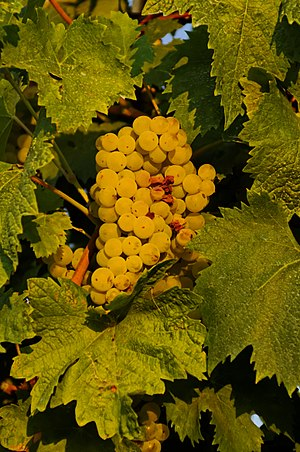 Verdicchio - Verdicchio grapes ripening in late August, Marche region, Italy.