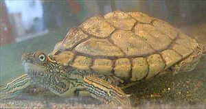Texas map turtle - A Texas map turtle in an aquarium