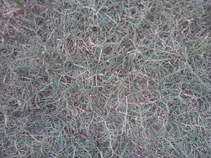 Cynodon dactylon - Image: Grass karuka