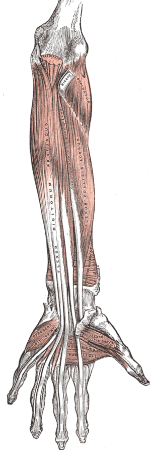 Front of the left forearm. Deep muscles. (Addu...