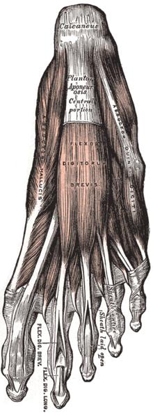 Aponeurosis plantaris – Wikipedia