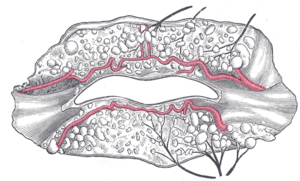 Superior labial artery - The labial coronary arteries, the glands of the lips, and the nerves of the right side seen from the posterior surface after removal of the mucous membrane.