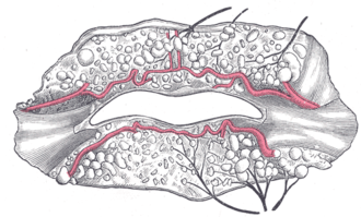 Inferior labial artery - The labial coronary arteries, the glands of the lips, and the nerves of the right side seen from the posterior surface after removal of the mucous membrane.