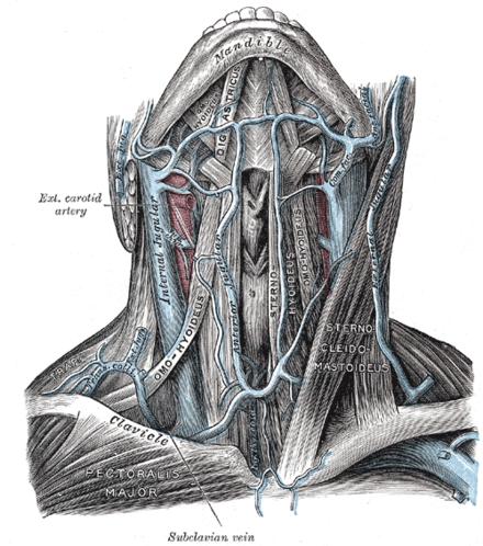 Vena jugularis externa - Wikiwand