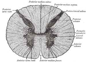 Anterior median fissure of spinal cord - Transverse section of the medulla spinalis in the mid-thoracic region.