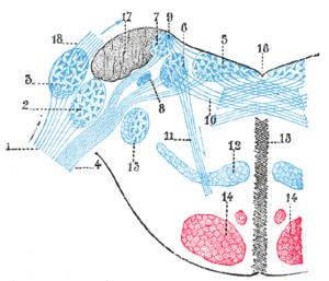 Lateral vestibular nucleus - Image: Gray 761
