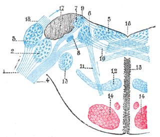 Lateral vestibular nucleus