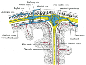 Falx cerebri - Diagrammatic representation of a section across the top of the skull, showing the membranes of the brain, etc. (Falx cerebri is yellow line running down center.)