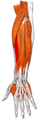 Gray — musculus extensor carpi radialis brevis.png
