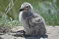 Great Black-Backed Gull Chick (5974497059).jpg