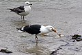 Great Black-backed Gull (8151626044).jpg
