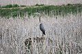 Great Blue Heron - panoramio - NaturesFan1226 (2).jpg