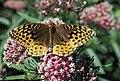 Great Spangled Fritillary (Speyeria cybele).jpg