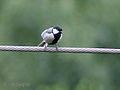 Great Tit I IMG 3112.jpg