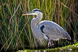 Great blue heron in the marsh (6785302846).jpg