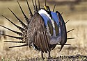 Greater Sage-Grouse Conservation (17379999802).jpg