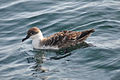Greater shearwater (9068719696).jpg