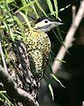 Green-barred-woodpecker (Colaptes melanochloros) - Flickr - Lip Kee.jpg