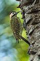 Green-barred Woodpecker - Pantanal MG 9534 (15788043664).jpg