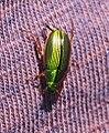 Green Bug (31112659553).jpg
