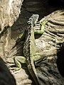 Green Iguana (19634949875).jpg
