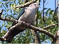 Green Imperial Pigeon-නිල්-මහගොයා.jpg