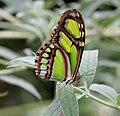 Green Longwing Butterfly (2764968513).jpg