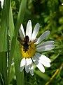 Grenchen - Diptera 6.jpg