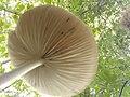 Grenchenberg - Hymenopellis radicata (under).jpg