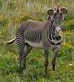 Grevy zebra.jpg