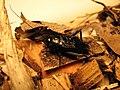 Gryllus pennsylvanicus male 01.jpg