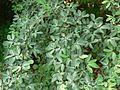 Guamúchil or Huamúchil (581503262).jpg