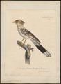 Guira piririgua - 1825-1834 - Print - Iconographia Zoologica - Special Collections University of Amsterdam - UBA01 IZ18800133.tif