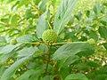 Guzikowiec zachodni. (Cephalanthus occidentalis) 01.jpg