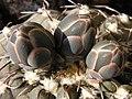 Gymnocalycium stellatum20090429 24.jpg