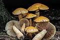 Gymnopilus viridans (Murrill) Hesler 383081.jpg