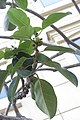 HKCL 香港中央圖書館 CWB tree green leaves 高山榕 Ficus altissima Oct-2017 IX1 06.jpg