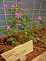 HK 上環 Sheung Wan 般咸道休憩花園 Bonham Road Rest Garden 馬櫻丹 Lantana Camara 臭金鳳 pink flowers Feb-2014.JPG
